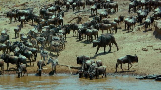 vídeos de stock, filmes e b-roll de cape buffalo  blue wildebeest & burchell's zebra maasai mara  kenya  africa - búfalo africano
