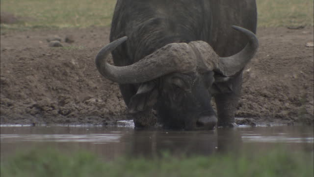 a cape buffalo drinks water from a shallow stream. - アフリカンバッファロー点の映像素材/bロール