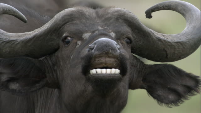 Cape buffalo (Syncerus caffer) flehmens on savannah, Uganda