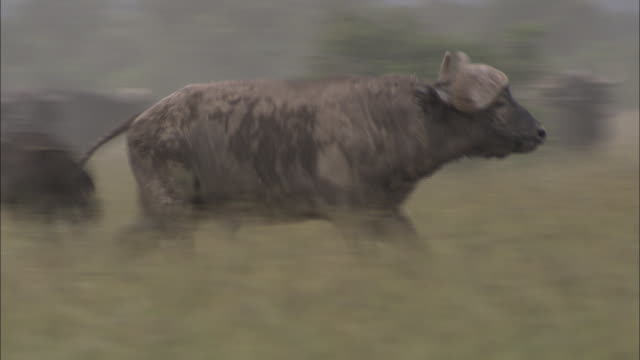 a cape buffalo gallops around its herd and an suv. - アフリカンバッファロー点の映像素材/bロール