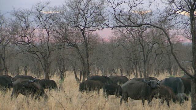 Cape Buffalo grazing in woodland, Lake Nakuru, Kenya