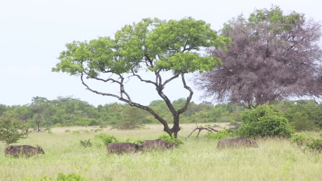 cape buffalo in distance - cinque animali video stock e b–roll