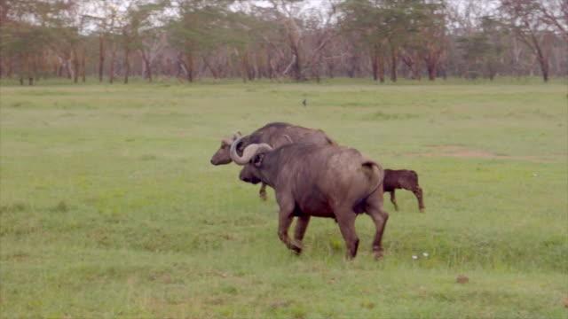 Cape buffalo in Lake Nakuru, Kenya