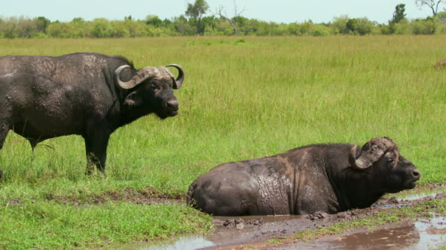 cape buffalo in mud, maasai mara, kenya, africa - wild cattle stock videos & royalty-free footage