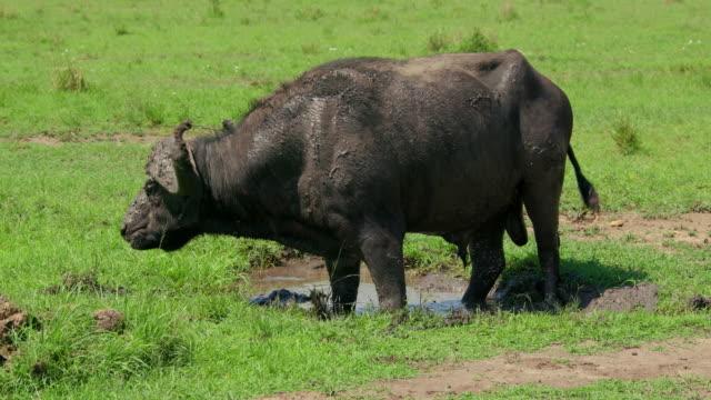 Cape Buffalo In Mud Pool Scratching Maasai Mara, Kenya, Africa