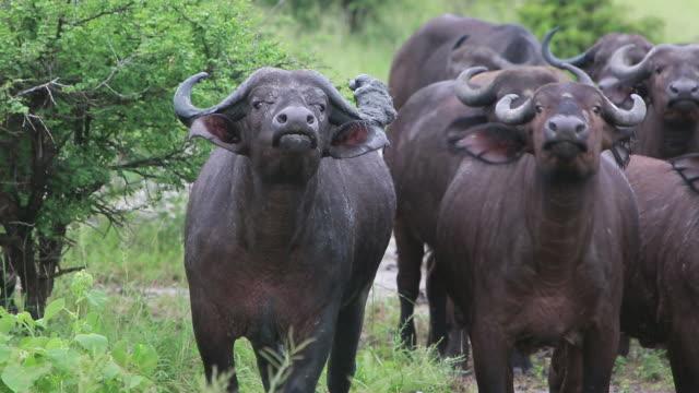vídeos y material grabado en eventos de stock de cape buffalo looking at camera - wiese