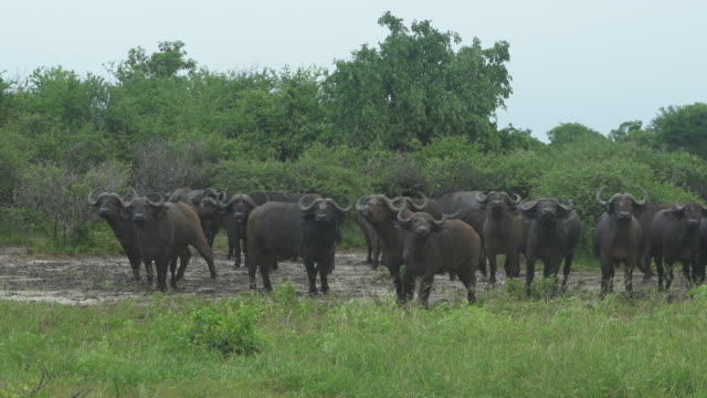 cape buffalo looking to camera - wiese stock videos & royalty-free footage