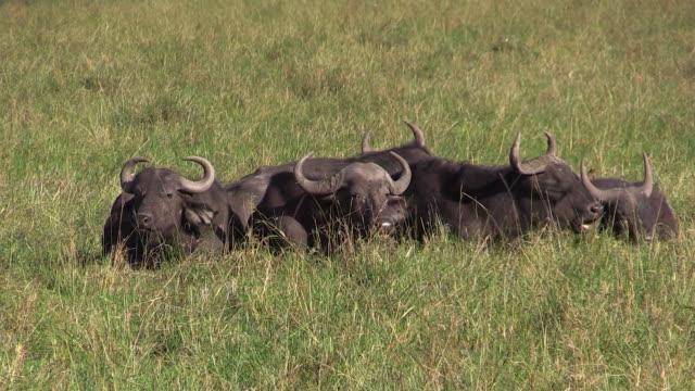 Cape Buffalo lying down in grass, Lake Nakuru, Kenya