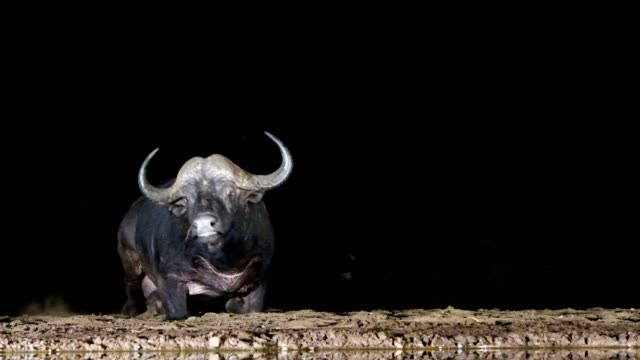 vídeos de stock e filmes b-roll de cape buffalo  (syncerus caffer) near the water at night in thunderstorm, south africa - búfalo africano