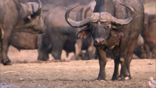 Cape buffalo (Syncerus caffer) on sandy riverbank, Luangwa, Zambia