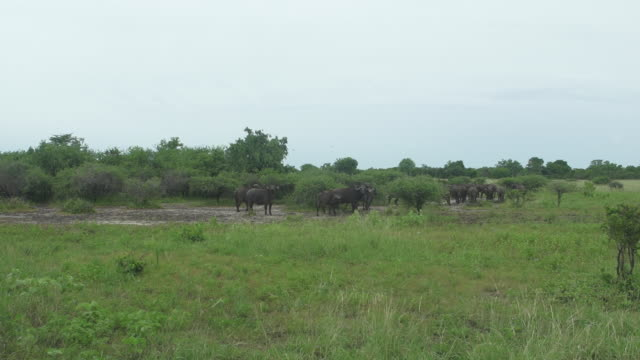 cape buffalo trotting away - wiese stock videos & royalty-free footage