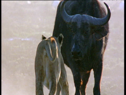 vídeos de stock e filmes b-roll de cape buffalo turns to face attacking lion - búfalo africano
