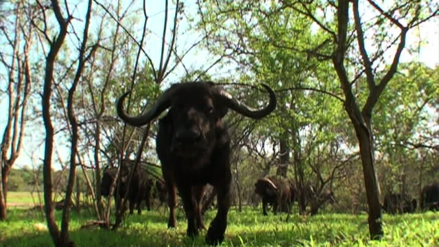 stockvideo's en b-roll-footage met cape buffalo walk in a grassy clearing. - gehoornd
