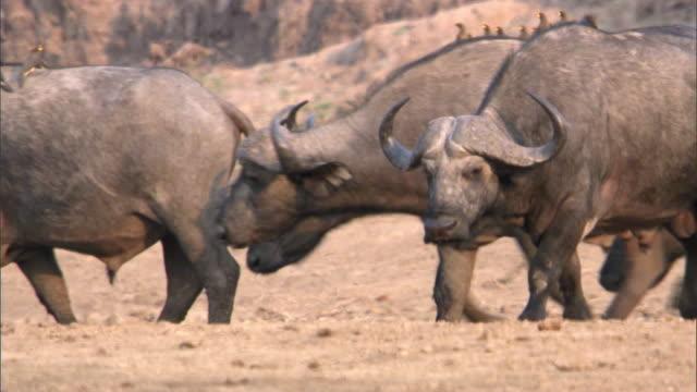 cape buffalo (syncerus caffer) walk on sandy riverbank, luangwa, zambia - tier rücken stock-videos und b-roll-filmmaterial