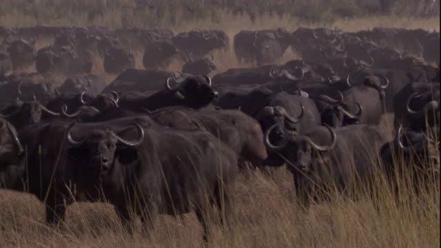 cape buffaloes gather on a grassy savanna. available in hd. - cattle stock videos & royalty-free footage