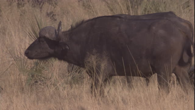 cape buffaloes walk across a grassy savanna. available in hd. - wild cattle stock videos & royalty-free footage