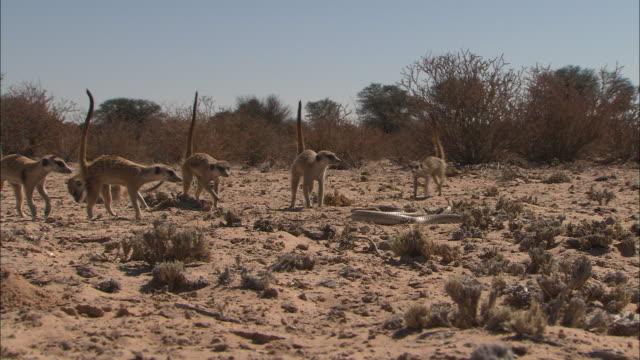 vidéos et rushes de a cape cobra reacts to the threat of curious meerkats. - danger