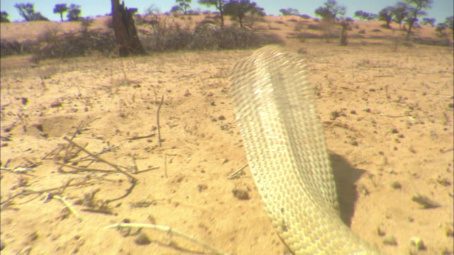 ケープコブラの映像素材とBロー...