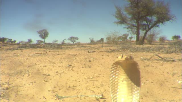CU, SHAKY, Cape cobra striking camera, South Africa