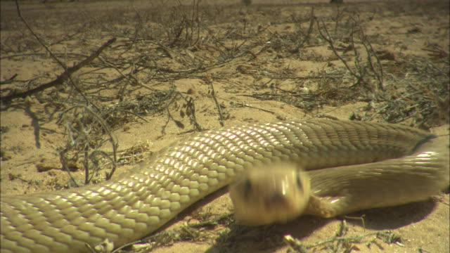 cu, shaky, cape cobra striking camera, south africa - hitting stock videos & royalty-free footage