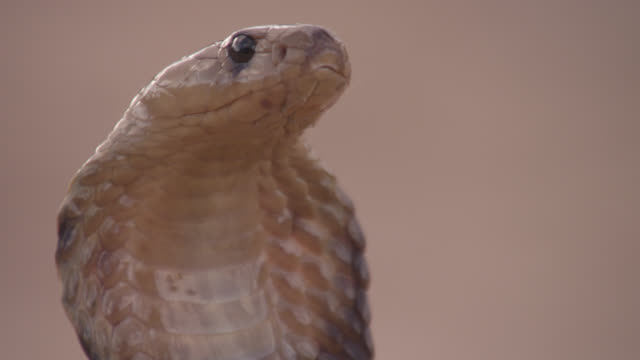 cape cobra (naja nivea) with spread hood strikes out, south africa - ヘビ点の映像素材/bロール
