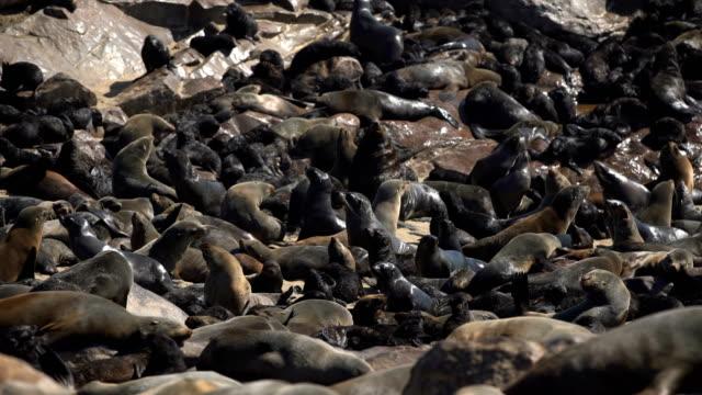 vídeos y material grabado en eventos de stock de cape cross seal reserva - foca peluda