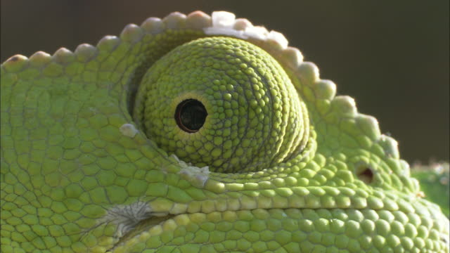 vídeos de stock, filmes e b-roll de a cape dwarf chameleon's eye looks around. - olho de animal