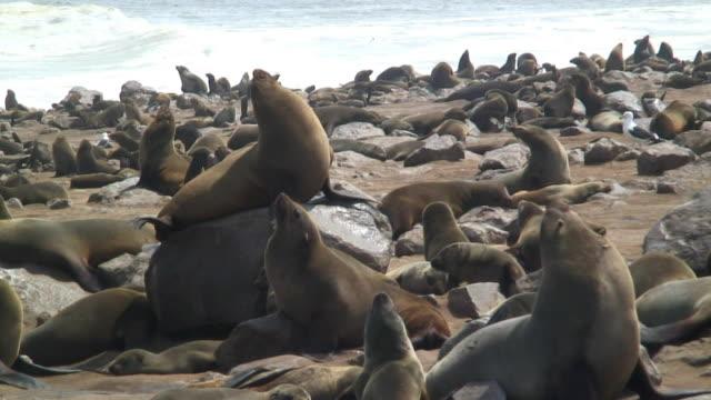 vídeos y material grabado en eventos de stock de ws cape fur seal colony on boulders on beach / skeleton coast, namibia - foca peluda
