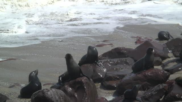 vídeos y material grabado en eventos de stock de ms ha cape fur seal colony on boulders on beach / skeleton coast, namibia - foca peluda del cabo