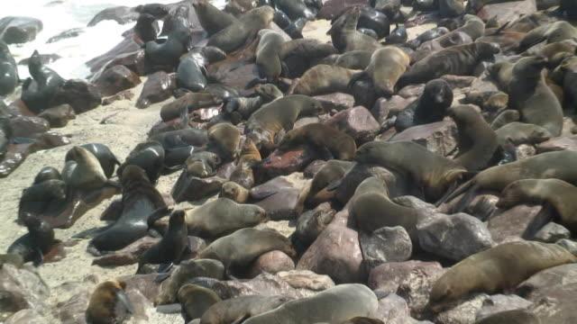 vídeos y material grabado en eventos de stock de ms zo ws ha cape fur seal colony on boulders on beach / skeleton coast, namibia - foca peluda del cabo