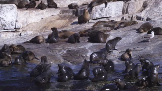 vídeos y material grabado en eventos de stock de slomo cape fur seal colony with massed seals and pups grooming on shore - foca peluda