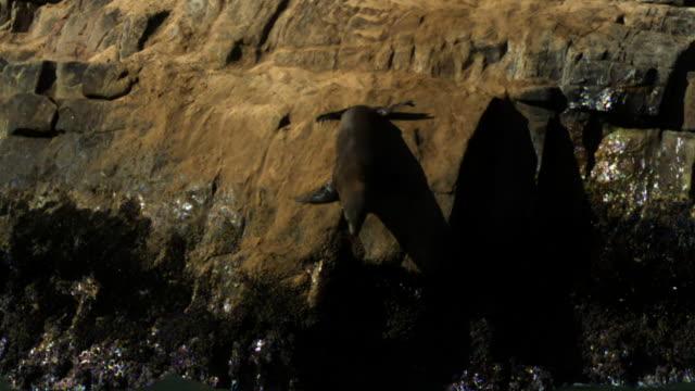 vídeos y material grabado en eventos de stock de cape fur seal enters water. - foca peluda del cabo
