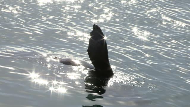 vídeos y material grabado en eventos de stock de a cape fur seal frolics in false bay in south africa. - foca peluda del cabo