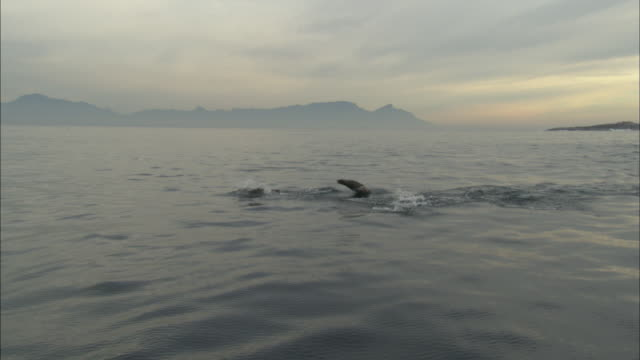 cape fur seal, group outbound, tracking, south africa,  - ミナミオットセイ点の映像素材/bロール