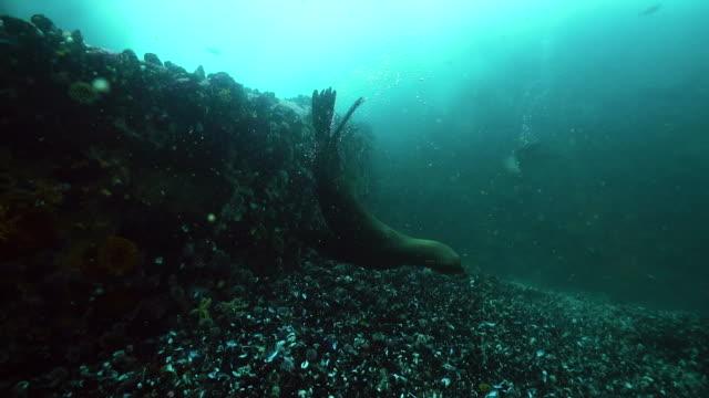 vídeos y material grabado en eventos de stock de cape fur seal looking for food along the ocean floor, false bay, cape town. - foca peluda del cabo