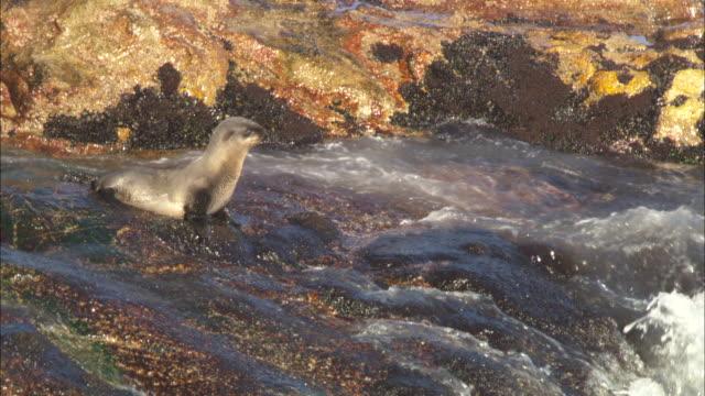 vídeos y material grabado en eventos de stock de cape fur seal, pup down into surf, simonstown, south africa  - foca peluda del cabo