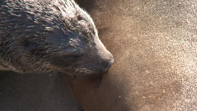 vidéos et rushes de cape fur seal (arctocephalus pusillus) pup suckling, cape cross, namibia - phoque