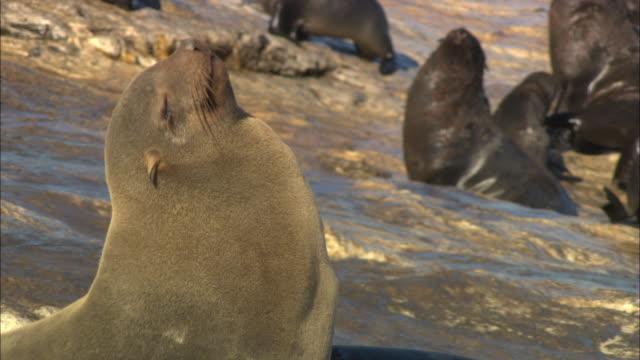 vídeos y material grabado en eventos de stock de cape fur seal, raised head into sun, simonstown, south africa  - foca peluda del cabo