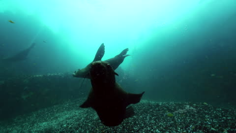 cape fur seal swims to camera, false bay, cape town. - cape fur seal stock videos & royalty-free footage