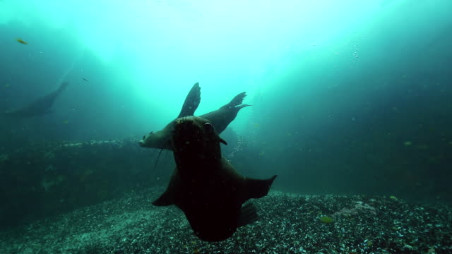 cape fur seal swims to camera, false bay, cape town. - ミナミオットセイ点の映像素材/bロール