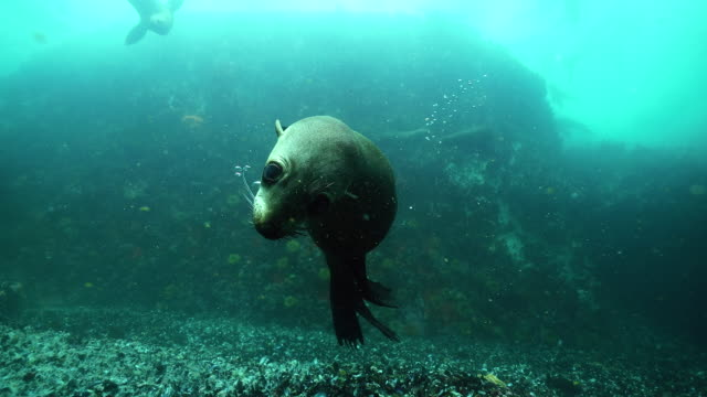 cape fur seal swims up to camera, false bay, cape town. - seals stock videos and b-roll footage