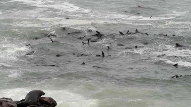 vídeos y material grabado en eventos de stock de lobo marino del cabo - foca peluda del cabo