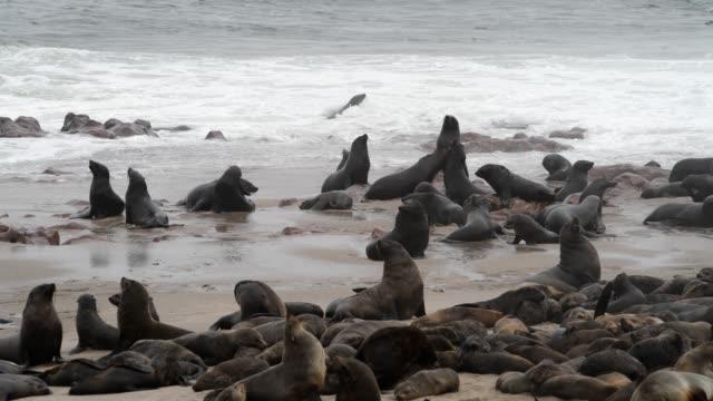 vídeos y material grabado en eventos de stock de lobo marino del cabo - foca peluda