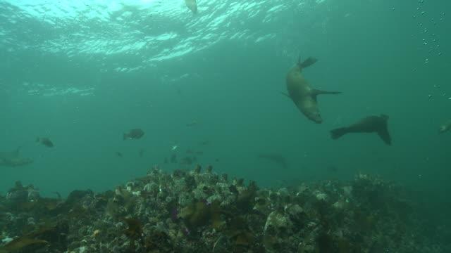 vídeos y material grabado en eventos de stock de cape fur seals and fish swim over a reef. available in hd. - foca peluda