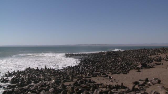 vídeos y material grabado en eventos de stock de cape fur seals (arctocephalus pusillus)colony on beach, cape cross, namibia - foca peluda del cabo
