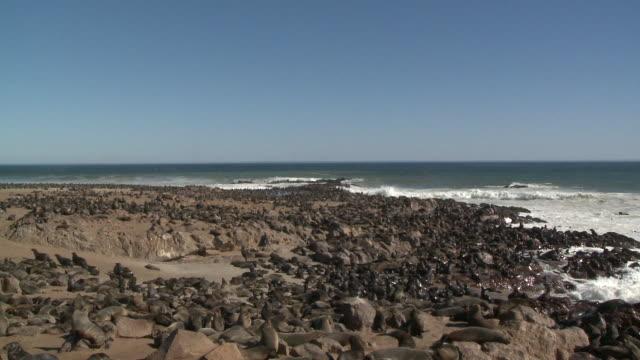 vídeos y material grabado en eventos de stock de cape fur seals (arctocephalus pusillus):, colony on rocks at sea edge, cape cross, namibia - foca peluda del cabo