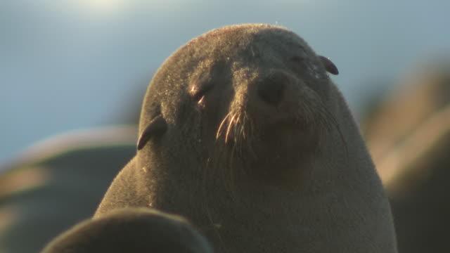 cape fur seals (arctocephalus pusillus)head, cape cross, namibia - sunbathing stock videos & royalty-free footage