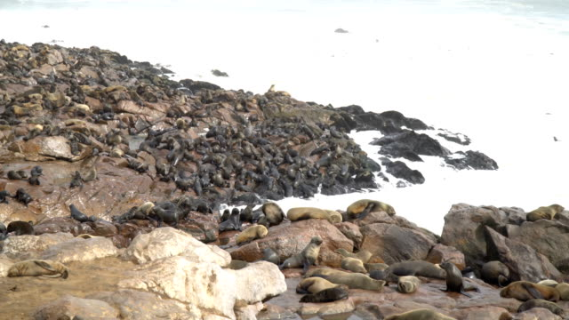 Cape fur seals in large colony, Cape Cross Namibia