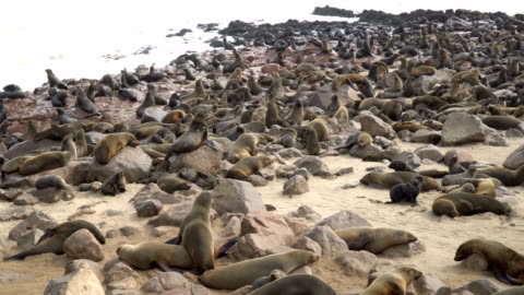 cape fur seals in large colony, cape cross namibia - cape fur seal stock videos & royalty-free footage