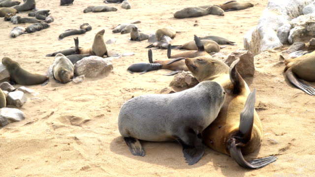 Cape fur seals in large colony, mother and young, Cape Cross Namibia